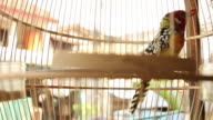 Red and yellow Barbet Bird hops around in cage.