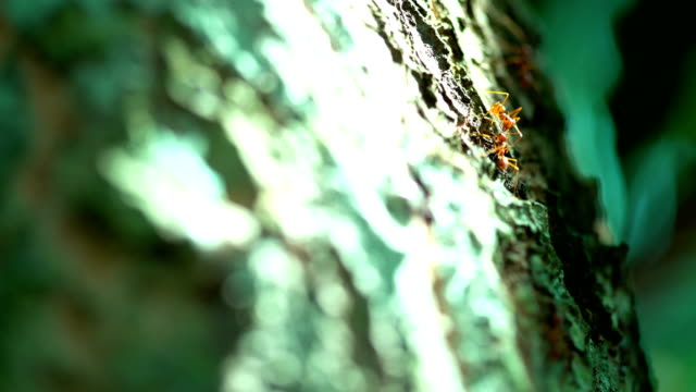 Rode mier cross