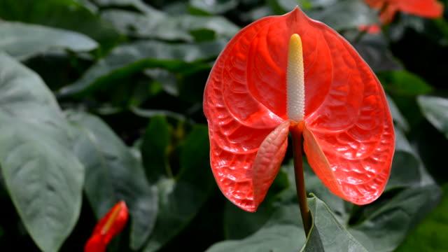 Red Anthurium blooming