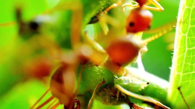 Red Ameisen Herden einer Farm von Aphids