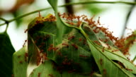 Red Ants Nest