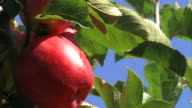red apple - close up