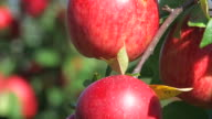 red apples - close up