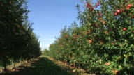 red apples in a row - agriculture on an orchard
