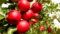 Red Apples in strong wind