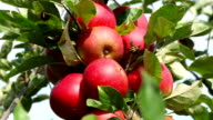 red apples in wind