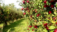 Red apples on orchard