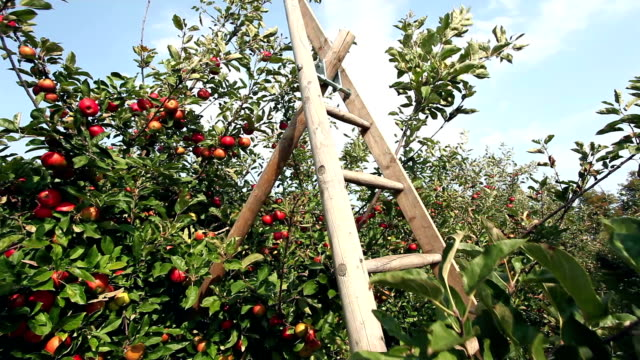 red apples with ladder - orchard