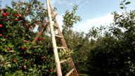 Red apples with ladder