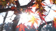 Red autumn leaf lighted up by sunshine in Obara, Nagoya, Japan.