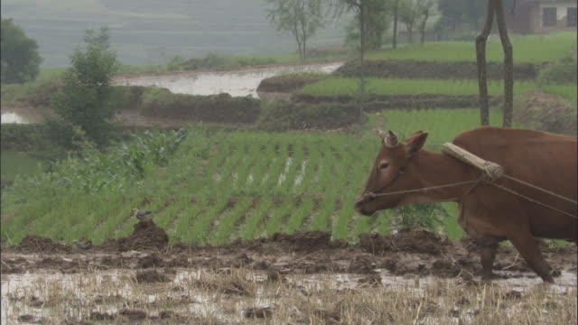 Red billed starling hops through paddy field as oxen pulls plough, Qinling, China.