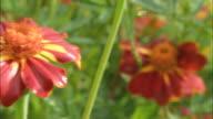 CU PAN Red China Aster flower / Uppsala, Uppland, Sweden