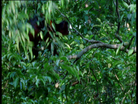Red colobus leaps and lands onto branch in canopy, West Africa