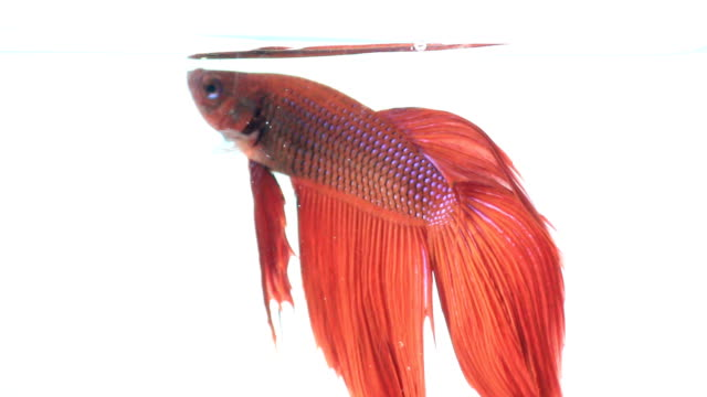 Red color siamese fighting fish with beautiful tail