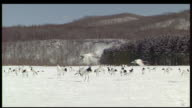 Red crowned cranes take flight from snow field, Kushiro, Hokkaido, Japan