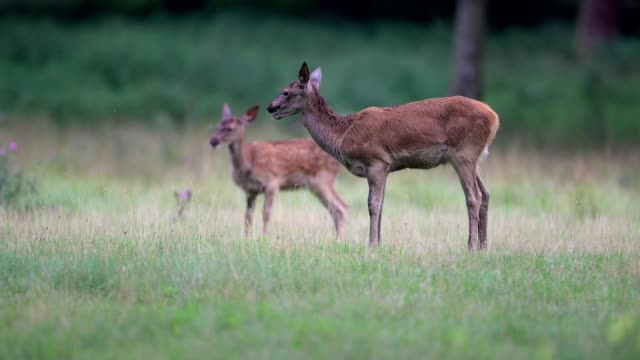 Red deer, Cervus elaphus, Female with young, Europe