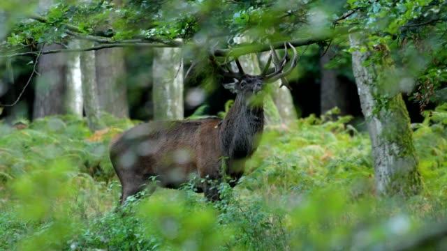 Red deer, Cervus elaphus, Male, in rutting season, Europe