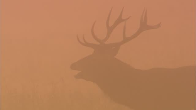 Red deer (Cervus elaphus) stag bellows in mist at dawn, Richmond Park, London, UK