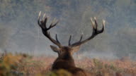 Autumn stag roaring in rut 2012 HD video