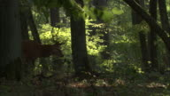 Red deer stag walks through forest, Bialowieza, Poland