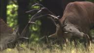 Red deer (Cervus elaphus) stags clash antlers during rut, Richmond Park, London, UK