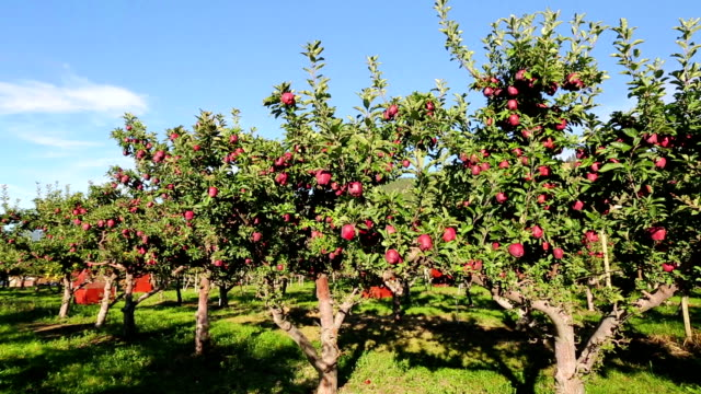 red delicious apple orchard filmmaterial video getty. Black Bedroom Furniture Sets. Home Design Ideas