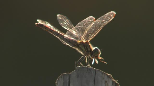 Red Dragonfly Feeding