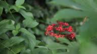 Red epidendrum flowers