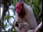 Red faced white Uakari monkey eats seed pod in Amazon