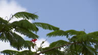 MS Red flower / Brightown, Barbados
