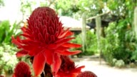 Red flowers Torch Ginger ultra hd.