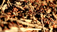 Red Forest / Wood Ants