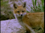Red Fox cub in grass, looks to camera, portrait, United States of America