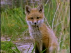 Red Fox cub looks at camera, portrait, United States of America
