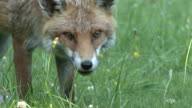 Red Fox Eating