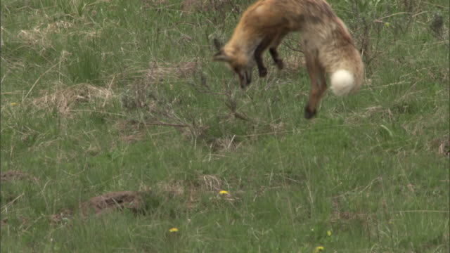 Red fox (Vulpes vulpes) hunts for rodents, Yellowstone, USA