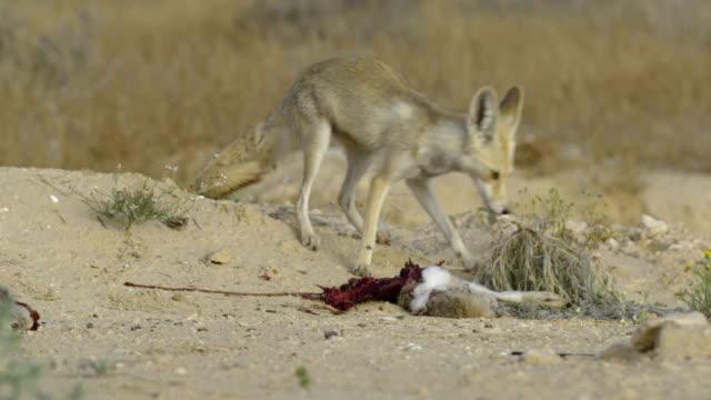 Red Fox (Vulpes vulpes), Israel