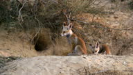 Red Fox (Vulpes vulpes), Israel