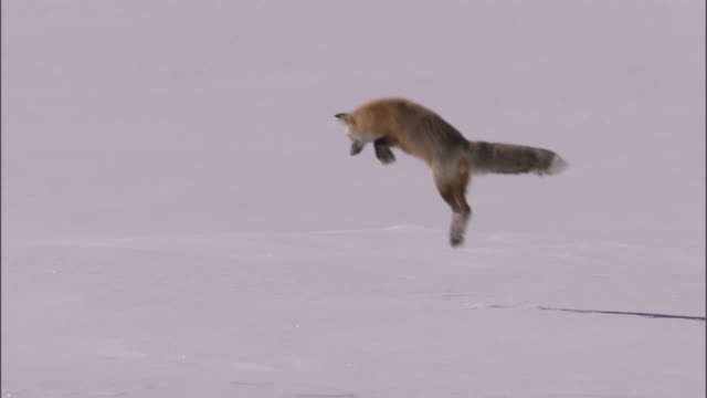 Red fox (Vulpes vulpes) leaps into snow and catches rodent, Yellowstone, USA