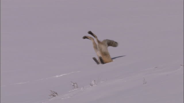 Red fox (Vulpes vulpes) leaps into snow hunting rodents, Yellowstone, USA