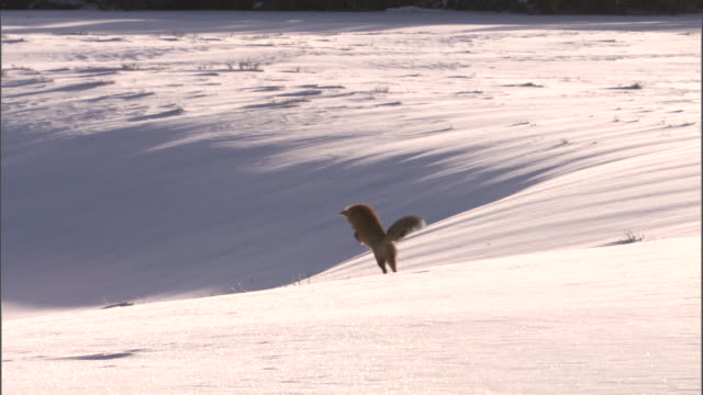 Red fox (Vulpes vulpes) pounces on rodent in snow, Yellowstone, USA
