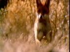 Red fox runs forward and peers at camera across field, Victoria