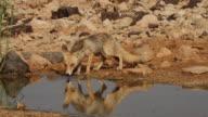 Red Fox. Vulpes.