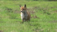 Red Fox, vulpes vulpes, Adult standing on Grass, Normandy, Real Time