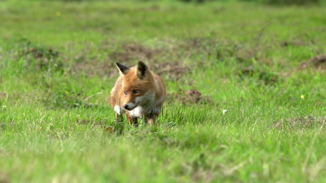 Red Fox, vulpes vulpes, Adult walking on Grass, Normandy, Real Time