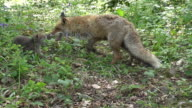 Red Fox, vulpes vulpes, Mother and Cub playing on Grass, Normandy, Real Time