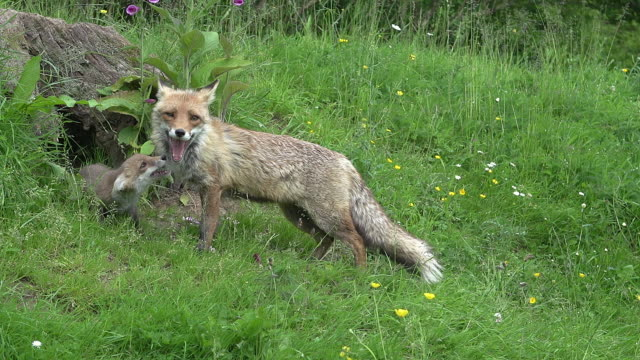 Red Fox, vulpes vulpes, Mother and Cub standing in Den Entrance, Normandy, Real Time