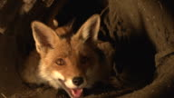 'Red Fox, vulpes vulpes, Mother and Cub standing in Den, Normandy, Real Time'
