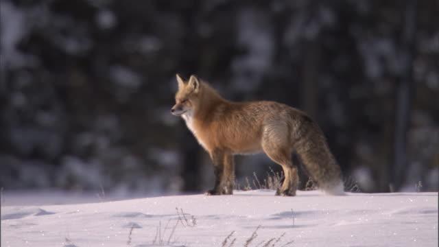 Red fox (Vulpes vulpes) walks on snow, Yellowstone, USA