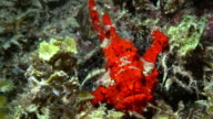 Red frogfish under water in Philippines